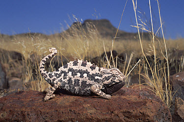 Namaqua Chameleon (Chamaeleo namaquensis) displaying, Namib Desert, Damaraland, Namibia  -  Michael & Patricia Fogden