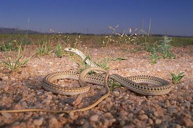 Fork-marked Sand Snake (Psammophis leightoni) on pebbles and fine sand, Namib Desert, Namibia  -  Michael & Patricia Fogden