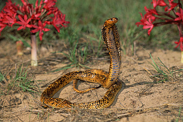 Cape Cobra (Naja nivea) speckled morph in defensive display with hood spread  -  Michael & Patricia Fogden