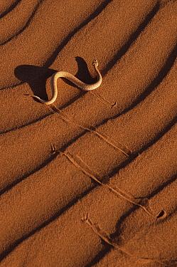 Peringuey's Sidewinding Adder (Bitis peringueyi) on sand dune, Namib Desert, Namibia  -  Michael & Patricia Fogden