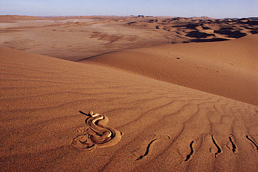 Peringuey's Sidewinding Adder (Bitis peringueyi) sidewinding across sand dune, Namib Desert, Namibia  -  Michael & Patricia Fogden