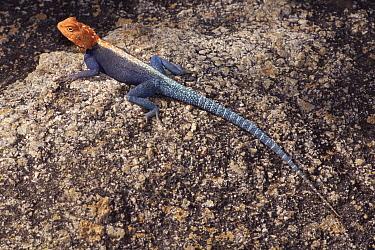 Kirk's Rock Agama (Agama kirkii), Matopos National Park, Zimbabwe  -  Michael & Patricia Fogden