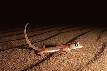 Namib Sand Gecko (Palmatogecko rangei) at dawn, Namib Desert, Namibia  -  Michael & Patricia Fogden