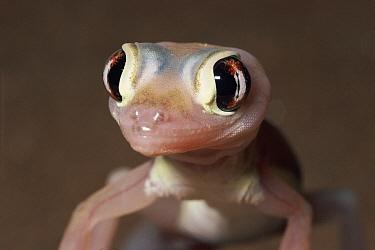 Namib Sand Gecko (Palmatogecko rangei) portrait, Namib Desert, Namibia  -  Michael & Patricia Fogden