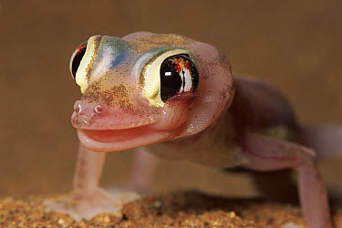 Namib Sand Gecko (Palmatogecko rangei) cleaning eye with tongue, Namib Desert, Namibia  -  Michael & Patricia Fogden