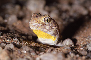 Common Barking Gecko (Ptenopus garrulus) male calling at entrance to burrow, occurs in deserts of southern Africa  -  Michael & Patricia Fogden