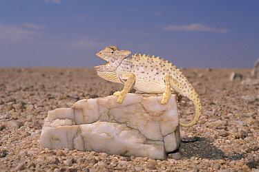 Namaqua Chameleon (Chamaeleo namaquensis) showing thermoregulation with panting, white color and raising off ground, Namib Desert, Namibia  -  Michael & Patricia Fogden