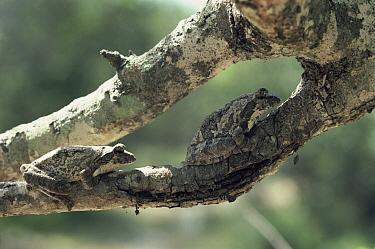 Grey Tree Frog (Chiromantis xerampelina) pair in daytime resting position, savannah, South Africa  -  Michael & Patricia Fogden