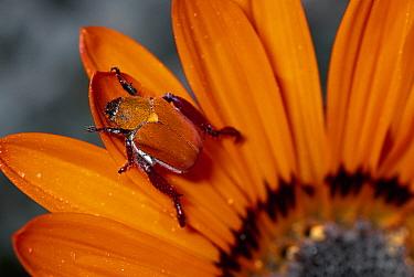 Scarab Beetle on a Guzmania flower, Damaraland, Namibia  -  Michael & Patricia Fogden