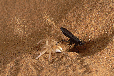 Wheel Spider (Carparachne aureoflava) captured by a parasitic Pompilid wasp, Sand Dunes, Namib Desert, Namibia  -  Michael & Patricia Fogden