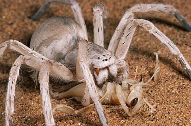Dancing White Lady Spider (Leucorchestris arenicola) eating a Dune Cricket, Namib Desert, Namibia  -  Michael & Patricia Fogden