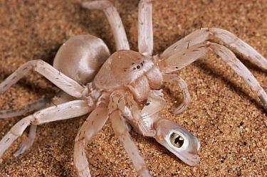 Wheel Spider (Carparachne aureoflava) eating a Namib Sand Gecko (Palmatogecko rangei), Namib Desert, Namibia  -  Michael & Patricia Fogden