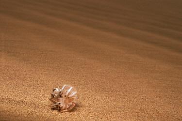 Wheel Spider (Carparachne aureoflava) wheeling across sand dune to escape predators, Namib Desert, Namibia  -  Michael & Patricia Fogden