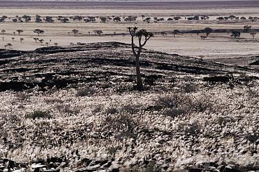 Grass and gravel plains, Namib Desert, Namibia  -  Michael & Patricia Fogden