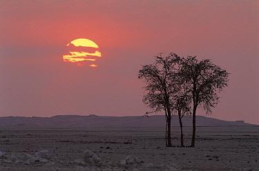 Whistling Thorn (Acacia drepanolobium) and gravel plains at sunrise, Namib-Naukluft National Park, Namib Desert, Namibia  -  Michael & Patricia Fogden