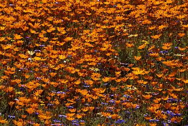 African Daisy (Ursinia cakilefolia) spring flowers, Skilpad flower reserve, Namaqualand, South Africa  -  Michael & Patricia Fogden