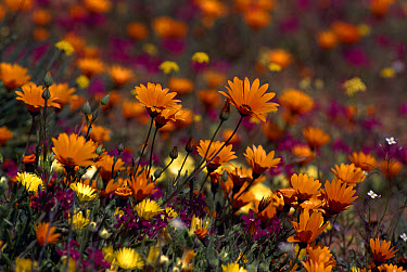 Spring flowers, Skilpad Flower Reserve, Namaqualand, South Africa  -  Michael & Patricia Fogden