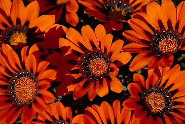 Terracotta Gazania (Gazania krebsiana) spring flower, Namaqualand, South Africa  -  Michael & Patricia Fogden
