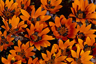Beetle Daisy (Gorteria diffusa) spring flowers, Namaqualand, South Africa  -  Michael & Patricia Fogden