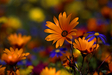 Daisies, spring flowers, Skilpad Flower Reserve, Namaqualand, South Africa  -  Michael & Patricia Fogden