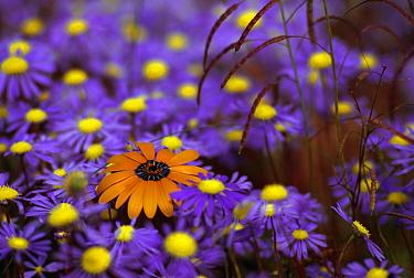 Spring flowers, Skilpad Flower Reserve, Namaqualand, Kamieskroon, Africa  -  Michael & Patricia Fogden