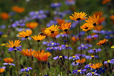 Namaqualand spring flowers, Skilpad Flower Reserve, South Africa  -  Michael & Patricia Fogden