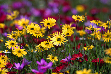 Spring flowers at Namaqualand, Skilpad Flower Reserve, Africa  -  Michael & Patricia Fogden