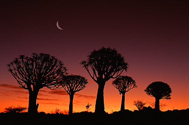 Quiver Tree (Aloe dichotoma) at dusk, Kokerboom Reserve, Keetmanshoop, Namibia  -  Michael & Patricia Fogden