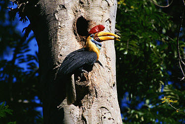 Sulawesi Red-knobbed Hornbill (Aceros cassidix) male, Tangkoko Reserve, Sulawesi, Indonesia  -  Michael & Patricia Fogden