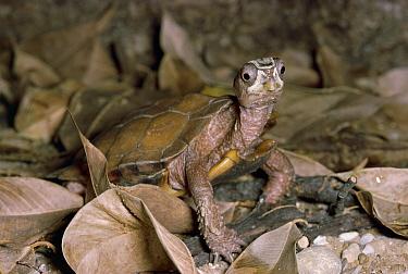 Black-breasted Leaf Turtle (Geoemyda spengleri) standing in leaf litter, Vietnam  -  Michael & Patricia Fogden
