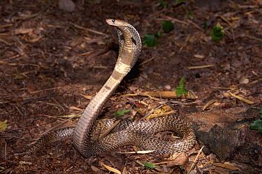Spectacled Cobra (Naja naja) defensive display with spread hood, India  -  Michael & Patricia Fogden
