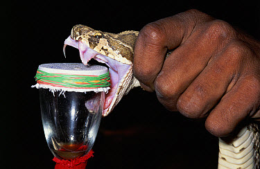 Russell's Viper (Daboia russelii) being milked for venom, Madras India  -  Michael & Patricia Fogden