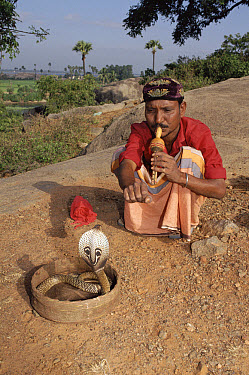 Spectacled Cobra (Naja naja) with snake charmer, India  -  Michael & Patricia Fogden