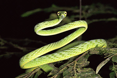 Oriental Whip Snake (Ahaetulla prasina) in the rainforst, Danum Valley Conservation Area, Sabah, Malaysia  -  Michael & Patricia Fogden
