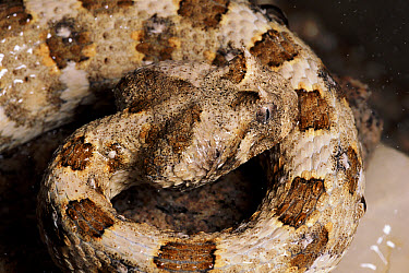 Horned Adder (Bitis caudalis) drinking moisture from its skin, desert, southern Africa  -  Michael & Patricia Fogden