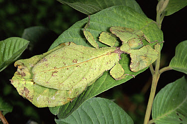 Leaf Insect (Phyllium sp) camouflaged on leaf, Malaysia  -  Michael & Patricia Fogden