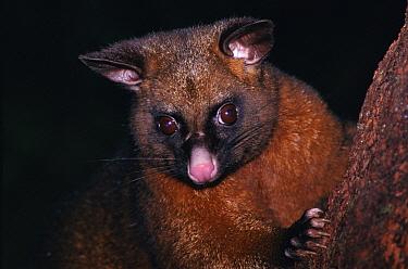 Common Brush-tailed Possum (Trichosurus vulpecula), New Zealand  -  Michael & Patricia Fogden