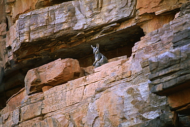 Black-footed Rock Wallaby (Petrogale lateralis), Trephina Gorge, MacDonnell Ranges, Australia