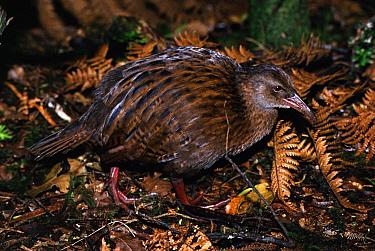 Weka (Gallirallus australis), Ulva Island, Stewart Island, New Zealand  -  Michael & Patricia Fogden