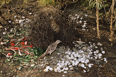 Great Bowerbird (Chlamydera nuchalis) male with decorated bower, Australia  -  Michael & Patricia Fogden