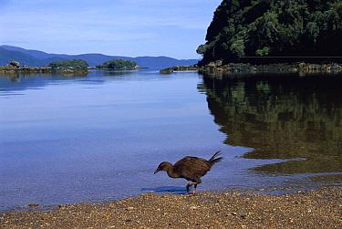 Weka (Gallirallus australis) flightless bird endemic to New Zealand, Ulva Island, New Zealand  -  Michael & Patricia Fogden