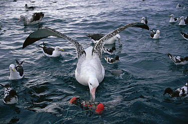 Wandering Albatross (Diomedea exulans) feeding in the sea, New Zealand  -  Michael & Patricia Fogden