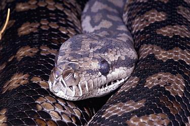 Carpet Python (Morelia spilota) portrait, labial scales capable of infrared reception, Australia  -  Michael & Patricia Fogden