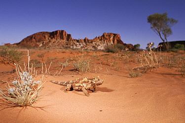 Thorny Devil (Moloch horridus) crossing desert, Rainbow Valley National Park, Australia  -  Michael & Patricia Fogden