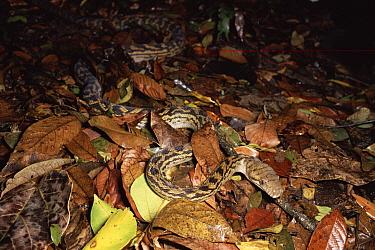 Amethythine Scrub Python (Morelia amethistina) in the rainforest, Queensland, Australia  -  Michael & Patricia Fogden