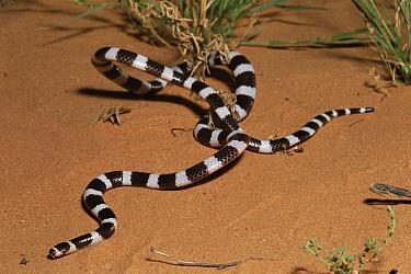 Bandy-bandy (Vermicella annulata) snake, moving on sand, Australia  -  Michael & Patricia Fogden