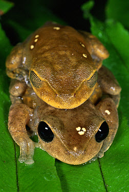 Lacelid Frog (Nyctimystes dayi) pair in amplexus in the rainforest, Crystal Cascades, Queensland, Australia  -  Michael & Patricia Fogden
