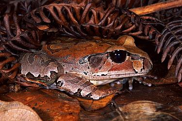 Northern Barred Frog (Mixophyes schevilli) in the rainforest, Kuranda State Forest, Queensland Australia  -  Michael & Patricia Fogden