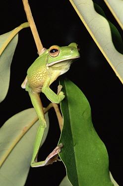 White-lipped Tree Frog (Litoria infrafrenata) in the rainforest, Kuranda State Forest, Queensland Australia  -  Michael & Patricia Fogden
