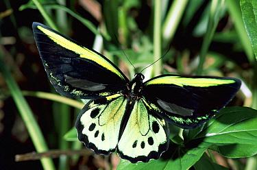 Common Green Birdwing (Ornithoptera priamus) butterfly in the rainforest, Kuranda State Forest, Queensland, Australia  -  Michael & Patricia Fogden